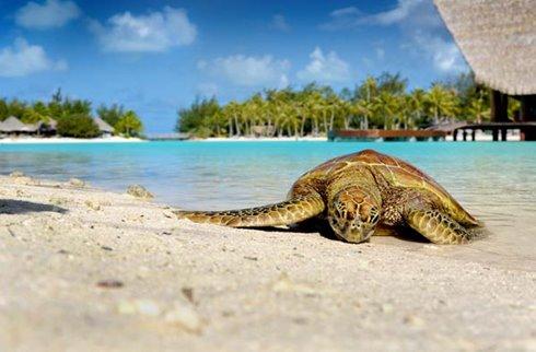 Le Meridien Bora Bora - Turtle