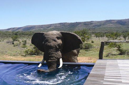 Elephant at Pool